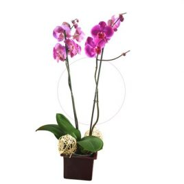 Phalaenopsis M12