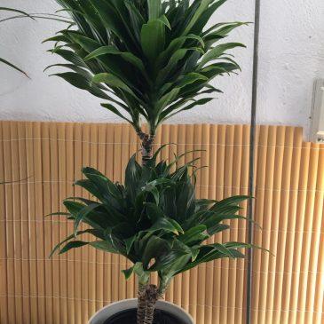 Dracaena Marginata M17 2 pals 80cm