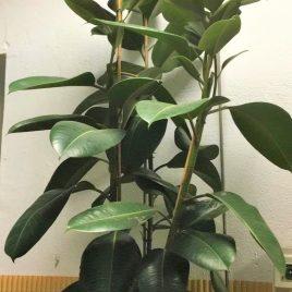 Ficus robusta 180 cm