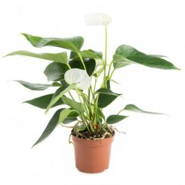 Anthurium M18 blanco