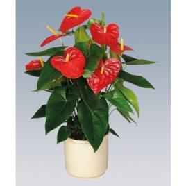 Anthurium M12 vermell