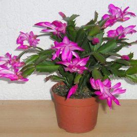 Rhipsalis Schlumbergera M13